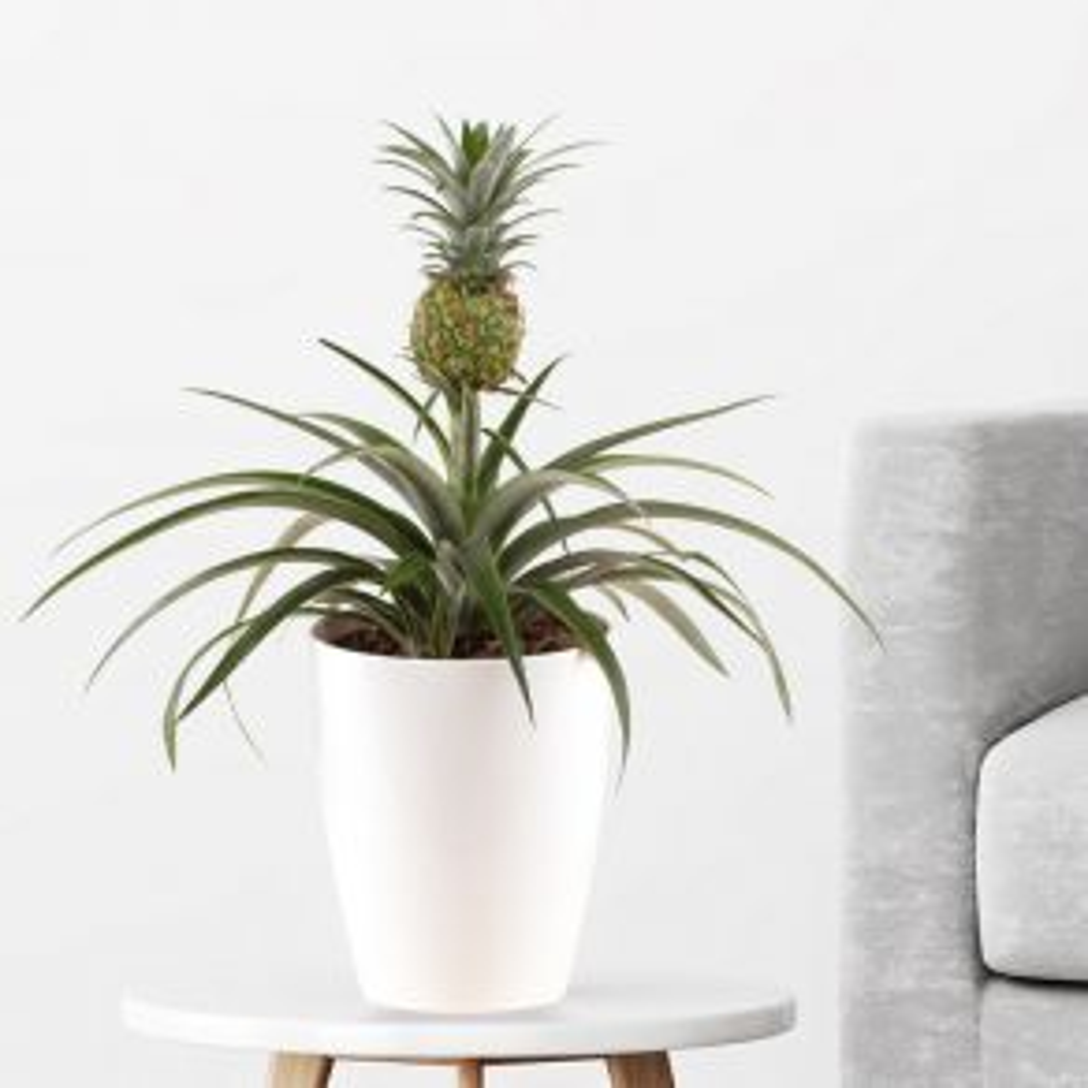 Ananas-Pflanze (Corona, 50 cm) + gratis Topf