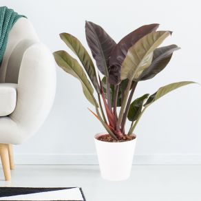 Philodendron (Imperial Red, 45 cm) + gratis Topf