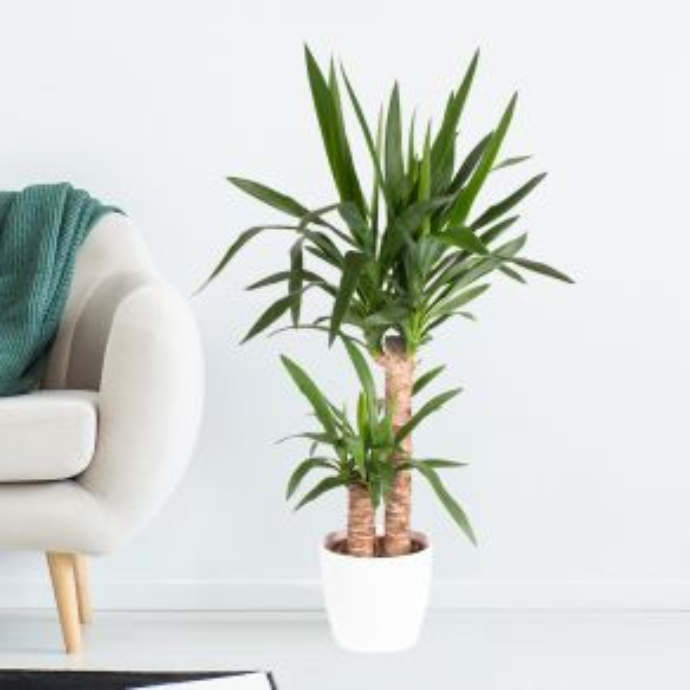Yucca-Palme (Palmlilie, 2-stämmig, 90 cm)
