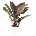 Philodendron - Imperial Red