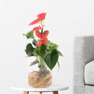 Zimmerpflanze in Glasvase