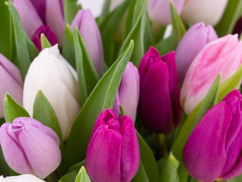 Tulpen aus Holland in Lila und Weiß
