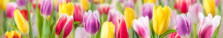 Tulpen aus Holland bestellen